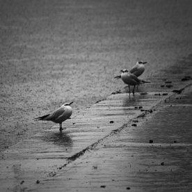 gulls in the rain