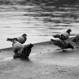 pigeon playtime